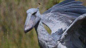 Africa Birding Safaris